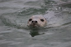 bubbles (ChilliPepper0713) Tags: sea swimming canon grey eyelashes tide may bubbles whiskers northumberland seal 16th nostrils amble 2016 amblebythesea coquetisland atlanticgreyseal 100d