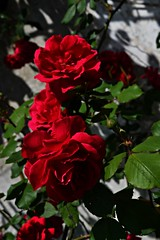Flowers (beatrice_chionna) Tags: pink flowers red green nature rose foglie rosa fiore rosso giardino pianta rosse