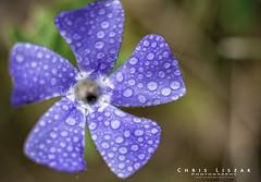 Wet Pedals (Chris Liszak Photography) Tags: flowers flower color colour macro water wow photo nikon bokeh sharp micro stunning droplet d7100 chrisliszakphotography