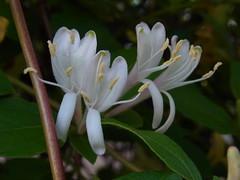 Joyous (nofrills) Tags: flowers plants plant flower green floral whiteflower flora honeysuckle shrub whiteflowers japanesehoneysuckle whiteandgreen