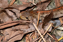 Taiwan Kukri Snake 1 (Bob Hawley) Tags: mountains nature animals outdoors asia nocturnal wildlife taiwan kaohsiung creatures reptiles herpetology oligodonformosanus tokina100f28 nikond7100 taiwankukrisnake meilunshan