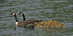 mga famille (doubichlou) Tags: lake france bird nature animal lac ile val suburb oiseau banlieue marne