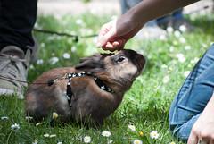 Carezzina al sole (divi333) Tags: rabbit bunny bunnies ferrara rabbits conigli coniglio 2016 conigliando