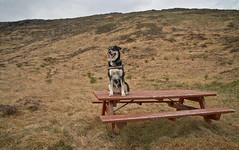 4mai_Thorbjorn_003 (Stefn H. Kristinsson) Tags: dog mountain dogs iceland spring hiking may ma vor hundur sland ganga fjallganga tamron2875mm grindavk hundar grindavik orbjrn nikond800 thornbjorn orbjarnarfell