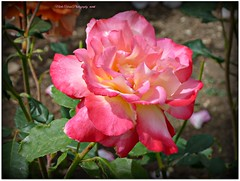 a precious rose... (MEA Images) Tags: california park flowers roses nature gardens flora socal blooms rosegarden westhills picmonkey orcuttranchhorticulturecenter