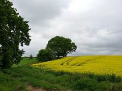 Rapeseed Fields(1) (JP Photography74) Tags: uk england yellow outdoors countryside spring farming land rapeseed staffs