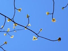 Eclosion printanire (Amiela40) Tags: life tree spring arbre printemps feuilles vie closion bourgeon puissance