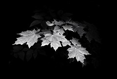 Maple Leaves (mswan777) Tags: park sunlight plant macro tree nature up leaves forest nikon close outdoor michigan sigma 1020mm d5100