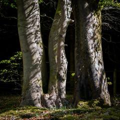 Beech trunks, light & shadow (charliegbson) Tags: trees light shadow leaves trunks beech