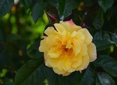 Rose (careth@2012) Tags: rose petals spring nikon britishcolumbia nikond3300 d3300