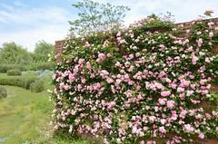 roses in abundance #1 (snowshoe hare*) Tags: flowers rose botanicalgarden climbingrose  japaneserose harugasumi dsc0135     tsuruharugasumi