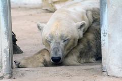 Eisbr Felix im Ouwehands Dierenpark Rhenen (Ulli J.) Tags: netherlands zoo utrecht nederland polarbear paysbas ijsbeer rhenen niederlande eisbr ouwehandsdierenpark isbjrn ourspolaire nederlandene