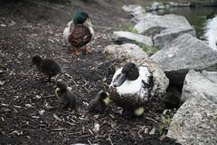 44 (kj_yoo) Tags: congress park saratoga springs ny ducks canonrebelt3 canon rebel t3