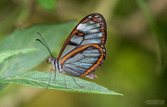 Ithomiini butterfly from a side (Magic life gallery) Tags: from butterfly side ithomiini
