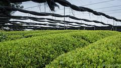 Matcha Research Institute (Ginggoy) Tags: life green japan tea farm e nagoya matcha bios