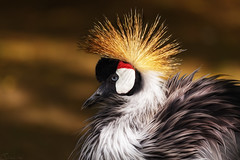 Black Crowned Crane (patrickmai875) Tags: red white black rot bird art love nature animal canon gold golden krone crane kunst ngc natur sigma national crown schwarz liebe tier vogel 6d weis kranich geographics 150600mm