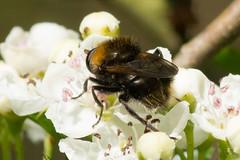 Hoverfly- Criorhina berberina (linanjohn) Tags: uk macro nature wildlife insects lincolnshire syrphidae diptera hoverflies eristalinae criorhinaberberina xylotina walesbywoodlands