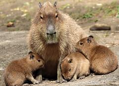 Capibara ouwehands JN6A1951 (j.a.kok) Tags: capybara ouwehands capibara