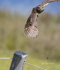 Burrowing Owl returning to its post (kwilles) Tags: burrowingowl westridge