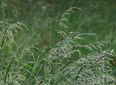 (:Linda:) Tags: green grass germany village thuringia droplet brden