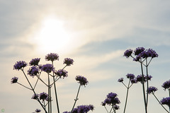 20160618-DS7_6493.jpg (d3_plus) Tags: street sunset sky plant mountains flower nature field japan nikon scenery dusk daily ragnarok bloom   streetphoto 28105mmf3545d toyama nikkor  ricefield     dailyphoto  riceplant   28105    28105mm   zoomlense       28105mmf3545 toyamapref d700 281053545 nikond700  aiafzoomnikkor28105mmf3545d  28105mmf3545af sankyovillage aiafnikkor28105mmf3545d