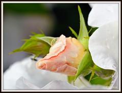 _JVA6786 (mrjean.eu) Tags: park pink flowers blue red roses white france flower macro green nature fleur rose yellow fleurs nikon botanic lorraine botanique parc metz communal 105mmf28