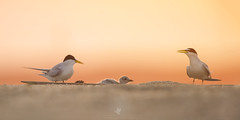 Beach Day (santosh_shanmuga) Tags: new family light sunset red wild orange baby cute bird beach nature animal sunrise outdoors newjersey sand nikon outdoor wildlife birding nj dramatic aves chick shore jersey endangered 500mm jerseyshore least tern nesting d3s