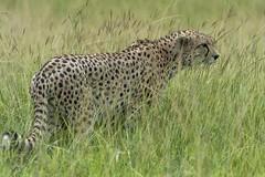 on edge (charlesgyoung) Tags: africa tanzania nikon safari cheetah d3 serengetinationalpark charlesyoung nikonfx nomadtanzania karineaignerphotographyexpedition