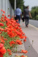Poppy Walk (haberlea) Tags: flowers red green nature fence pavement walk row poppies