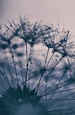Ich bin nicht oft neidisch, aber von mir aus knnten meine Haare voll mit Regentropfen auch so hbsch aussehen. (Manuela Salzinger) Tags: sunset summer flower evening abend sonnenuntergang sommer dandelion blume lwenzahn pusteblume blowball