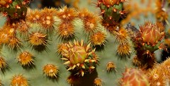 In my garden (Panoussiadis.) Tags: cactus marocco
