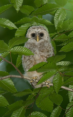 In the Canopy (Bill McMullen) Tags: ontario fledgling barred owlet prescottrussell barredowlet owlfledgling