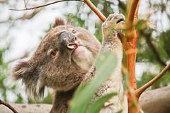 male southern koala - great otway (1 of 2) (Daniela Parra F.) Tags: koala wildkoala male malekoala marsupial mammal mammals animales animal mamifero mamfero wildlife wildmammals wildmale southernkoala bigboy greatoceanroad greatotwaynationalpark gum chewinggum herbivory herbivore hungry