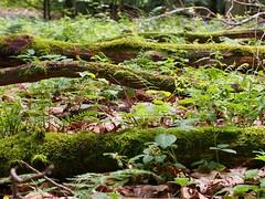 4erkette (michaelmueller410) Tags: laub ste wald bume harz moos humus baumstmme baumstamm verfall stmme totholz