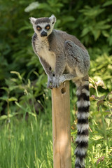 Posing Lemur (tony143) Tags: scotland edinburgh llama edinburghzoo