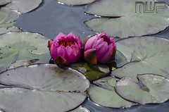 DSC_5291 (mikewarnerphotography) Tags: kewgardens beautiful waterlillies mwp