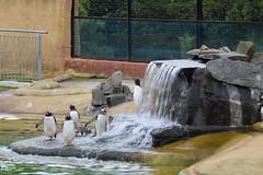 Penguin waterfall (WarmYeti) Tags: nature animal outside outdoors zoo penguin penguins scotland edinburgh edinburghzoo