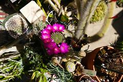 Sulcorebutia mentosa (nolehace) Tags: sanfrancisco cactus plant flower succulent spring bloom 516 sulcorebutia mentosa nolehace fz1000