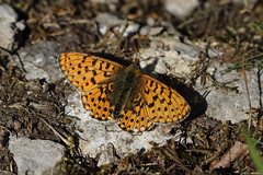 Pearl Bordered Fritilliary (Chris B@rlow) Tags: uk macro nature canon butterfly outdoors wildlife butterflies lepidoptera cumbria britishwildlife fritillary pearlborderedfritillary ukbutterflies closeupnature thehowe canon7d