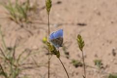 Argus bleu cleste (Vincent Prdm) Tags: papillon argus argusbleu argusbleucleste larzac insecte bleu