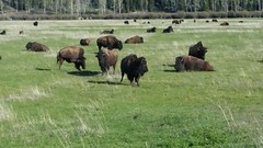 GTY_182401 (Kerri M.) Tags: wyoming grandtetonnationalpark bison herd nationalparks wildlife nature
