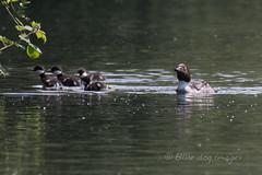 Goldeneye and chicks (Blue Dog Images) Tags: chicks hertfordshire goldeneye rickmansworth springwelllake canon7dmarkii