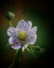 Brombeerblte (olgi49) Tags: blackberry blume garten blten brombeerblte gx7
