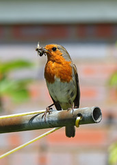 Fetching food for the family (Treflyn) Tags: food bird robin severn upon upton