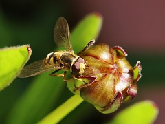 Hoverfly (Hugo von Schreck) Tags: macro insect fly makro insekt hoverfly fliege schwebfliege greatphotographers tamronspaf180mmf35dildifmacro11 canoneos5dsr hugovonschreck