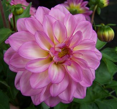 Dahlia (ERIK THE CAT Struggling to keep up) Tags: flowers ngc npc m6 corley doublefantasy