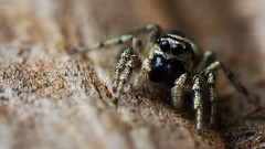 Zebra spider fangs (Andyfrog321) Tags: hairy macro cute nature bug spider jumping bokeh small 100mm tiny zebra 28l smallcreature salticus scenicus salticidae