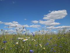 Blumenwiese (conticium) Tags: juni wiese wolken blumen brandenburg mohn 2016 klatschmohn margeriten kornblumen