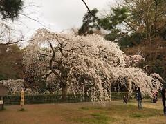 Sakura! (M_Strasser) Tags: japan kyoto olympus cherryblossom sakura kirschblten olympusomdem1