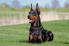 Bethany's life style (bethanynash1) Tags: summer portrait dog pet brown black nature beauty grass animal standing puppy fur outside mammal paw friend head leg guard meadow ears canine chain domestic bitch doberman breed obedience companion guardian muzzle lay pedigree pincher saliva purebred dobermann malicious layng